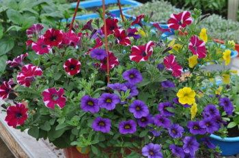 Кашпо с ампельными растениями