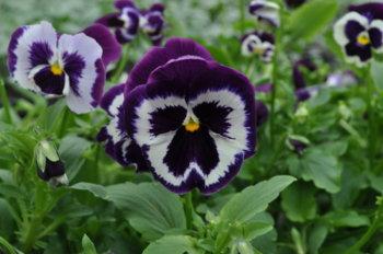 Виола крупно-цветковая